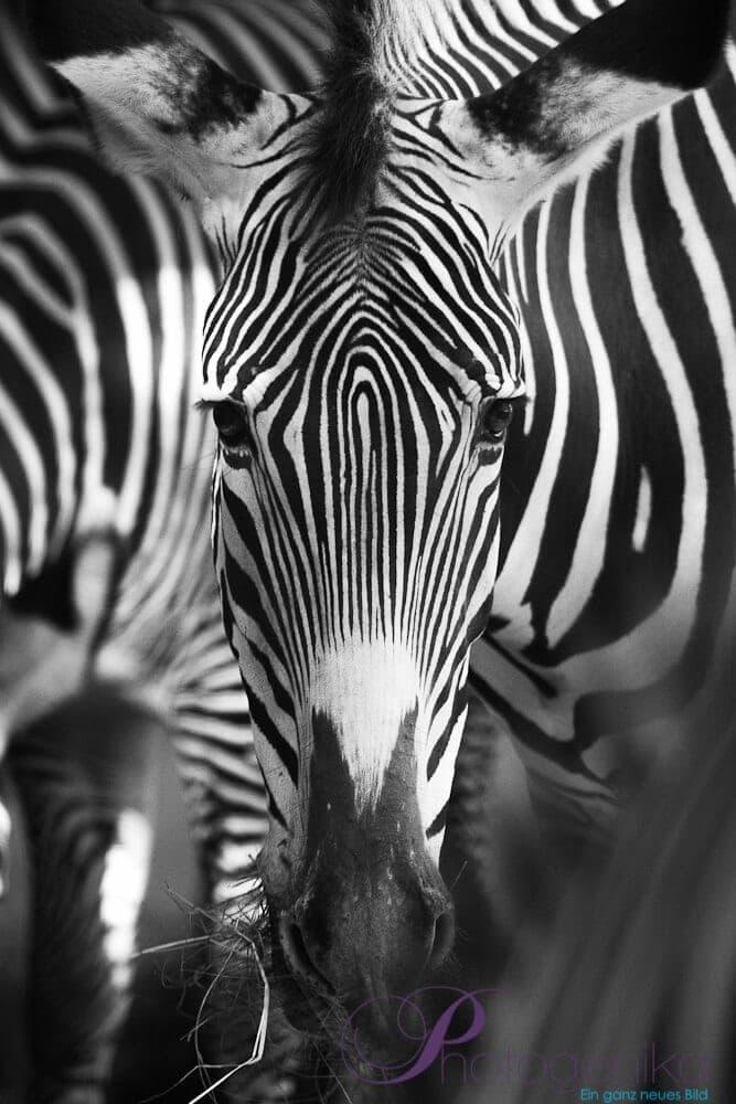 Photoshop Kurs Augsburg - Zebra